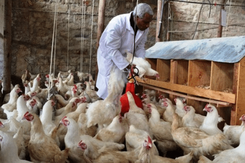 Challenges facing Poultry farming Business in Nigeria ...
